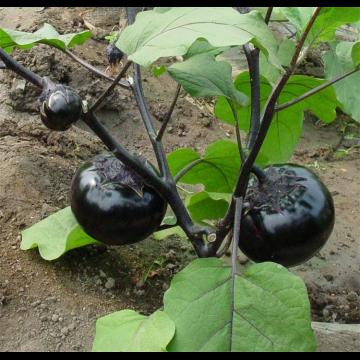 农家自种新鲜茄子5斤包邮