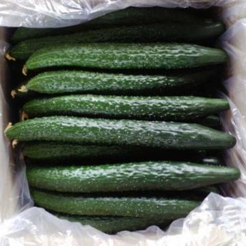 农家现摘黄瓜-绿色蔬菜5斤装包邮
